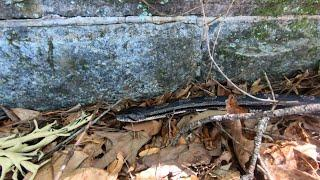 An Eastern Rat Snake Lives In The Wall Of An Old Cemetery